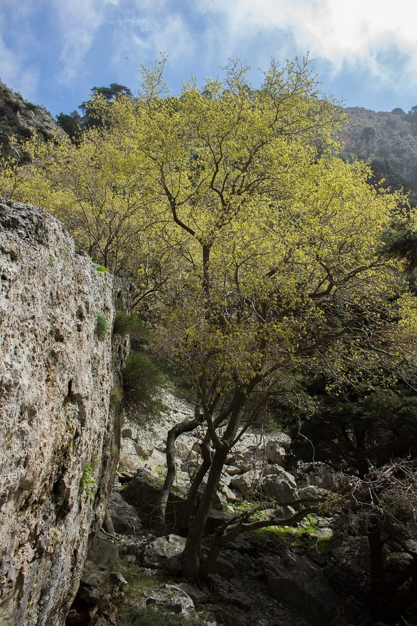 Spring tree in Imbros Gorge