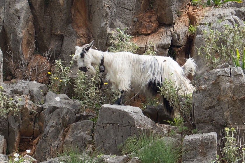 The Goat King of Imbros Gorge