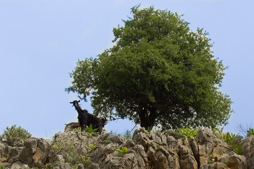 The Goat Tree in Imbros Gorge